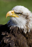 Sea eagle portrait Royalty Free Stock Photo