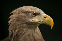 Sea eagle. A portrait of a sea eagle Stock Photo