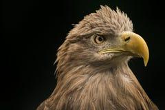 Sea Eagle. A portrait of a Sea Eagle Royalty Free Stock Photos