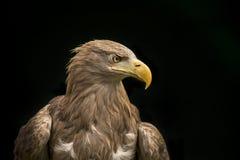 Sea Eagle. A portrait of a Sea Eagle Stock Images