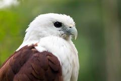 Sea eagle portrait Royalty Free Stock Photos