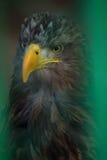 Sea Eagle Royalty Free Stock Photos