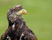 Sea Eagle Stock Photo