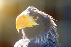 Sea-eagle. Royalty Free Stock Photos