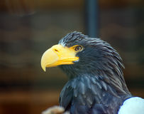 Sea-eagle. Royalty Free Stock Images