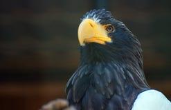 Sea-eagle. Royalty Free Stock Photo