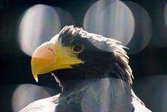 Sea-eagle. Stock Photography