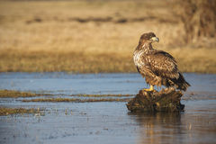 Sea eagle reflections Royalty Free Stock Images