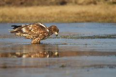 Sea eagle reflections Stock Image