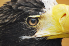 Sea Eagle's Eye Royalty Free Stock Images