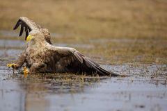 Sea eagle slide Stock Images