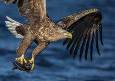 Sea eagle snatch Stock Photos