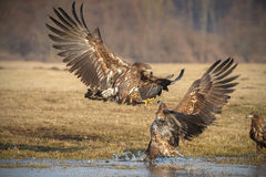 Sea eagle squabble Royalty Free Stock Photos