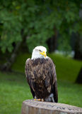 Sea eagle standing Royalty Free Stock Photography