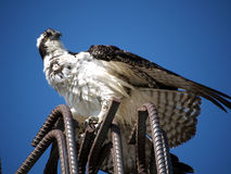Sea Eagle standing on construction iron rods Royalty Free Stock Photo
