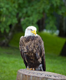 Sea eagle standing Royalty Free Stock Photos