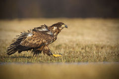 Sea eagle strutting Stock Photography