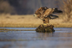 Sea eagle on a stump Royalty Free Stock Image