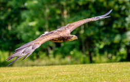 Sea Eagle swooping low over a field Royalty Free Stock Images