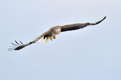 Sea Eagle Stock Images