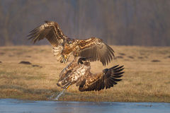 Sea eagles fighting Royalty Free Stock Images