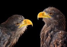 Sea eagles Stock Image