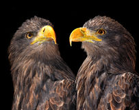 Sea eagles Royalty Free Stock Photo
