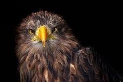 Sea eagles Stock Photography