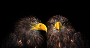 Sea eagles Royalty Free Stock Images