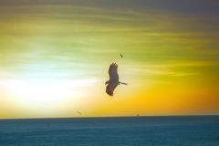 The sea eagles. Kites over the Indian ocean Stock Photo