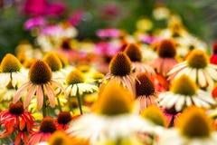 Sea of Echinacea Royalty Free Stock Photography