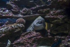 Sea eel among rocks under water Stock Photography
