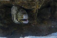 Sea eel among rocks under water Royalty Free Stock Photos