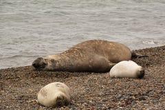 Sea elefants on the beach. Sea elefants on a beach in Punta Nimfes, Argentina Royalty Free Stock Photography