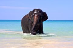 Sea elephant. Baby elephant steps out of ocean after swim stock photos