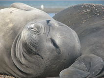 Sea elephant female. Closeup of a Patagonian Sea Elephant in the wild at Punta Ninfas Royalty Free Stock Image