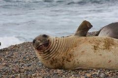 Elephant Seal female royalty free stock image