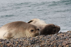 Elephant Seal females. Wallpaper of Patagonian Sea Elephant females in the wild at Punta Ninfas Stock Photo