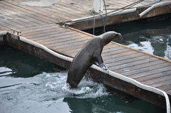 Sea elephant Stock Photo