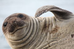 Elephant Seal schatching royalty free stock photo