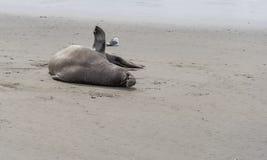 Sea elephant. Lying on the beach Royalty Free Stock Photography
