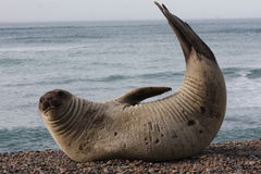 Elephant Seal showing off. Portrait of a Patagonian Sea Elephant in the wild at Punta Ninfas Stock Photo