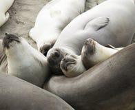 Sea elephants Stock Photo