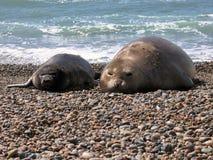 Sea Elephants Stock Photography