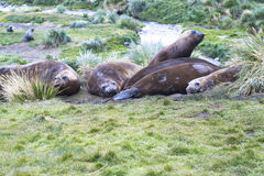 Sea elephants Royalty Free Stock Image