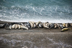 Sea elephants, patagonia Royalty Free Stock Image