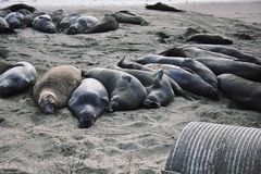 Sea elephants. Resting on the beach in California Royalty Free Stock Photography