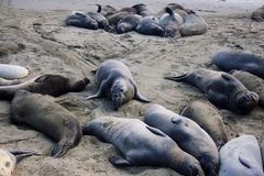 Sea elephants resting on the beach. By Pacific Ocean in California stock image