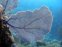 Sea Fan. A sea fan catches the sunlight and the nutrients brought along in the current by growing across the flow of water.  Taken on a sunny shallow dive in the Stock Photos