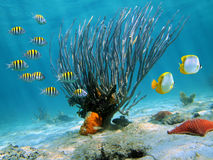 Sea fan. On sandy seabed with colorful fish Stock Image